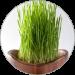 Spelt Grass