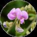 Tephrosia Purpurea